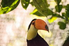 Toco Toucan called Ramphastos toco. Can be found in the forests of South America Stock Photography