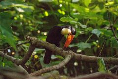 Toco Toucan called Ramphastos toco. Can be found in the forests of South America Stock Photos