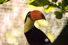 Toco Toucan called Ramphastos toco. Can be found in the forests of South America Stock Image
