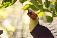 Toco Toucan called Ramphastos toco. Can be found in the forests of South America Royalty Free Stock Image