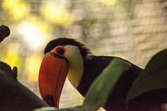 Toco Toucan called Ramphastos toco. Can be found in the forests of South America Royalty Free Stock Images