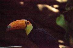 Toco Toucan called Ramphastos toco. Can be found in the forests of South America Stock Photo