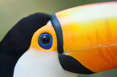 Toco Toucan close-up. Toco Toucan (Ramphastos toco) close-up royalty free stock photo