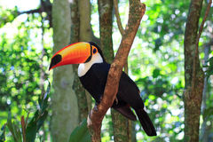 Toco Toucan (Common) on tree Royalty Free Stock Images