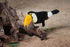 Toco Toucan, das auf Baum-Kabel sitzt stockbilder