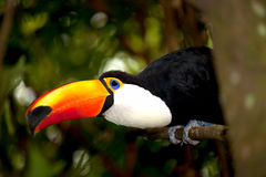 Toco Toucan in deep (Ramphastos toco) Stock Images