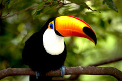 Toco Toucan in deep (Ramphastos toco). For background use Royalty Free Stock Images