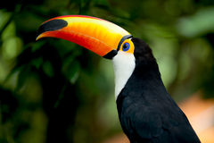 Toco Toucan in deep (Ramphastos toco) Royalty Free Stock Images