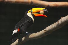 Toco toucan. With an egg in its beak royalty free stock photography