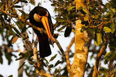 Toco Toucan Looking Down selvaggio dalla pertica, becco frontale immagine stock libera da diritti