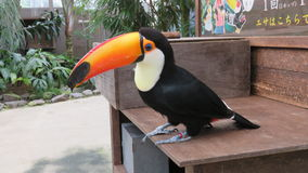 Toco Toucan in Matsue Vogel Park Royalty Free Stock Photography