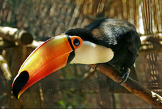 Toco toucan Royalty Free Stock Photography