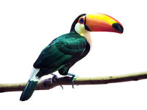Toco Toucan  over white Stock Photography