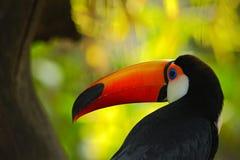 Toco Toucan, pássaro grande com conta alaranjada, no habitat da natureza, bico alaranjado na floresta escura, retrato do detalhe  Imagem de Stock