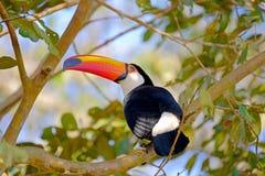Toco Toucan, Ramphastos Toco, also known as Common Toucan, Giant Toucan, Iguazu or Iguacu, Brazil. Toco Toucan, Ramphastos Toco, also known as the Common Toucan stock photos