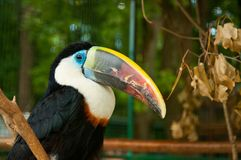 The toco toucan Ramphastos toco. The big toco toucan Ramphastos toco with damaged beak royalty free stock image