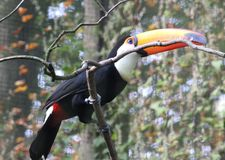 Toco toucan, Ramphastos toco. Close up toco toucan in tree royalty free stock photo