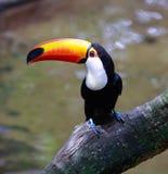 toco toucan Ramphastos toco的特写镜头 面包渣 伊瓜苏 图库摄影