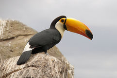 Toco Toucan - Ramphastos Toco. Toco Toucan, ramphastos toco, resting in on a rock Stock Photo