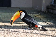 The toco toucan Ramphastos toco at a bird park royalty free stock photography