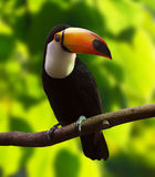 Toco Toucan (Ramphastos toco). In forest area royalty free stock image