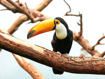 Toco Toucan (Ramphastos toco) Stock Photography