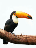 Toco Toucan (Ramphastos toco) Stock Photo