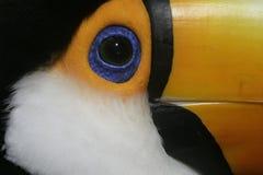 Toco toucan, Ramphastos toco. Single bird head shot, Brazil royalty free stock photo