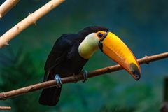 Toco toucan or Ramphastos toco sits on branch. Close up beautiful Toco toucan or Ramphastos toco sitting on tree branch with dark green background Royalty Free Stock Photography
