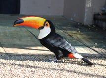 The toco toucan Ramphastos toco. At a bird park in South Africa Stock Photos