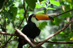 Toco toucan Stock Images