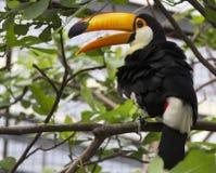 Toco toucan Royalty Free Stock Photo