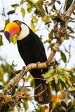 Toco Toucan selvaggio appollaiantesi con la testa inclinata fotografia stock libera da diritti