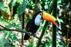 The Toco Toucan sitting on the branch of the tree in Iguacu National Park of the Iguazu Falls. One of the worlds largest and most impressive waterfalls, Foz de Stock Image