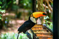 The Toco Toucan sitting on the metal tube and eating apples and papaya in Iguacu National Park. The Toco Toucan sitting on the metal tube and eating fruit in Royalty Free Stock Photos