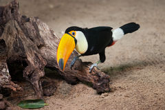Toco Toucan Sitting on Tree Trunk Stock Images