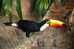 Toco Toucan. A toco toucan is standing on a branch Royalty Free Stock Image