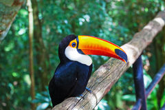 Toco toucan in zoo Royalty Free Stock Image