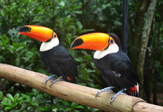 Toco toucans Stock Images