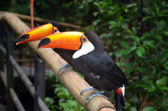 Toco toucans Stock Photos