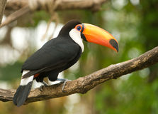 Toco tucan, looking to the right. stock photos