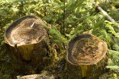 Tocones de árbol Imagenes de archivo