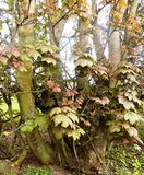 Tocones de árbol con las hojas, Crookham, Northumberland Reino Unido Imagen de archivo libre de regalías