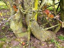 Tocones de árbol de Knarled, Crookham, Northumberland Reino Unido Foto de archivo