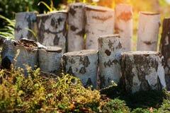 Tocones de madera del abedul para la decoración del paisaje en el parque Foto de archivo