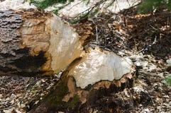 Tocones del castor Foto de archivo