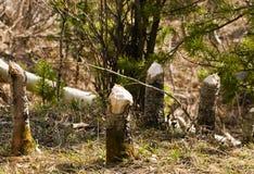 Tocones del castor Imagen de archivo libre de regalías