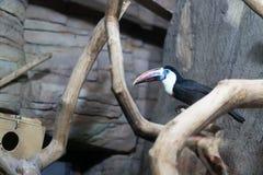 Tocotoekan bij de dierentuin van Minsk stock afbeelding