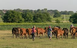TOCUZ, MOLDOVA - JUNE 1, 2018: Cowherd walking cows home in the evening in Moldova.  stock photography