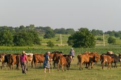 TOCUZ, MOLDOVA - JUNE 1, 2018: Cowherd walking cows home in the evening in Moldova.  royalty free stock image